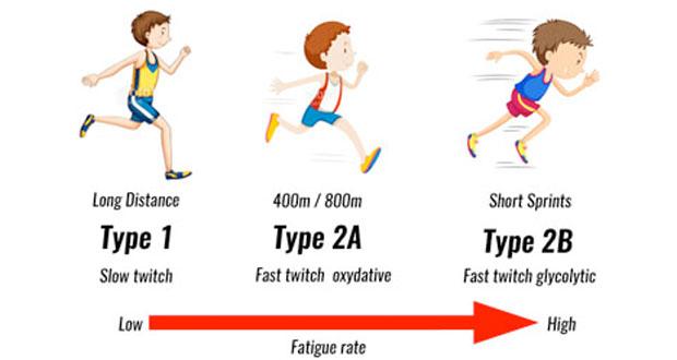 muscle-fibre-types620.jpg